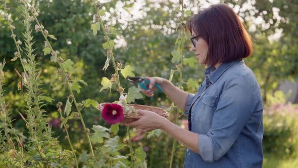 Woman in Summer Garden Picking Dry Flowers Seeds with Mallow Plants in Basket