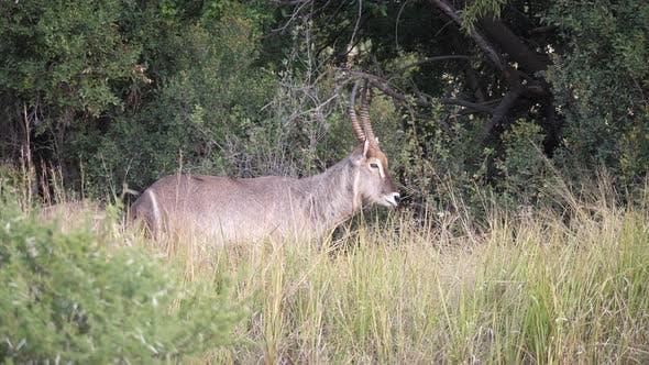 Thumbnail for Waterbuck at Pilanesberg Game Reserve