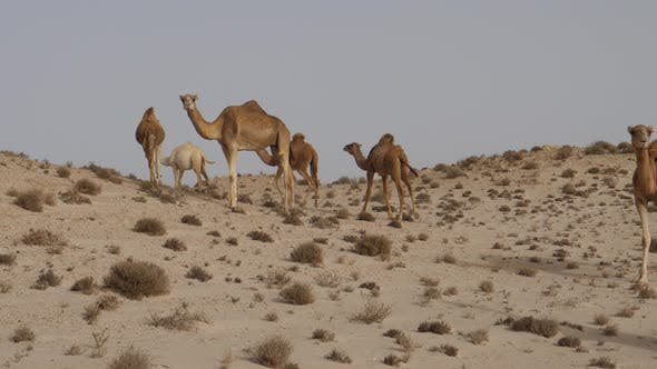 Thumbnail for Herd of dromedary camels running away