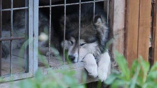 Large Pedigree Dog Lie in a Large Booth Behind Bars on the Street