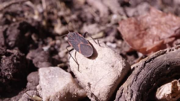 Thumbnail for Box elder bug crawls off rock.