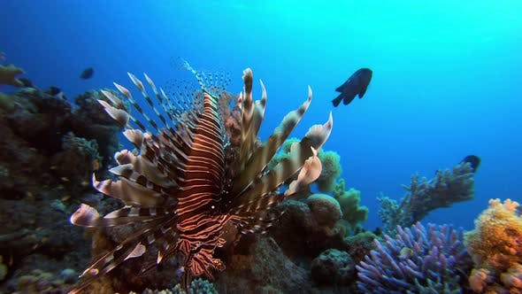 Thumbnail for Underwater Tropical Lion Fish