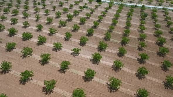 Thumbnail for Aerial View Of Rows Of Trees