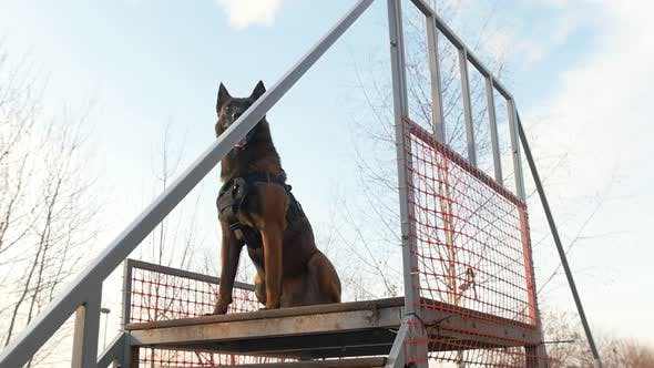 Thumbnail for A German Shepherd Dog Standing on the Top of the Stairs on the Playground