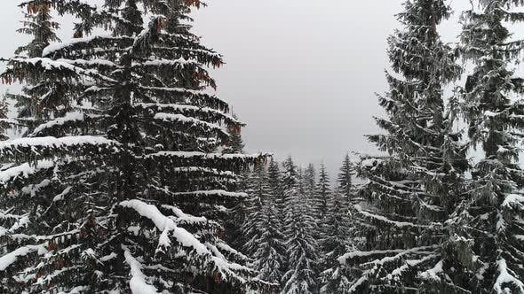 Winterland Fly Over Fir Tree in the Snowstorm