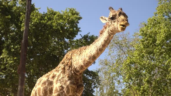 Thumbnail for Giraffe in the Zoo