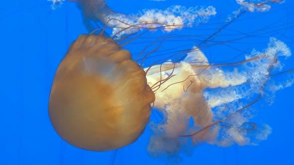 Thumbnail for Close-up of Giant Orange Medusa Jellyfish in Aquarium, Blue Background