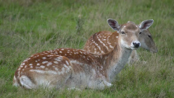 Thumbnail for Deer resting in the grass