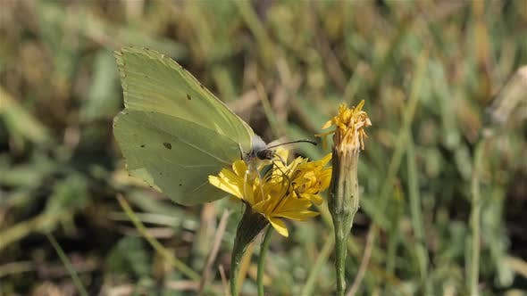 Thumbnail for Common Brimstone Butterfly