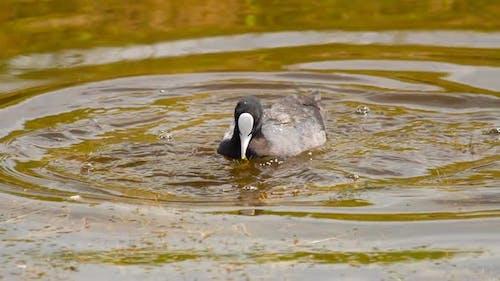 Blässe Schwimmen im Teich