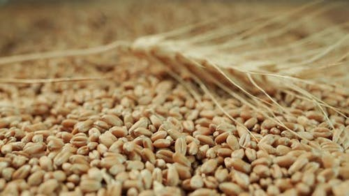 The Grain of Wheat Rests on the Grains