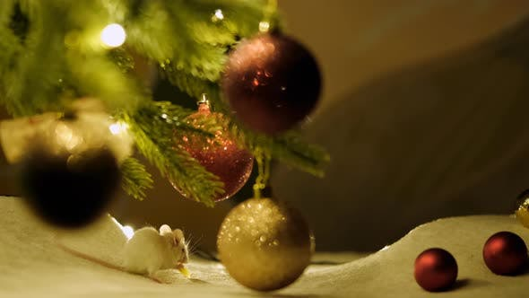 Thumbnail for Fluffy White Mouse Eating Cheese, Sitting Among the Decorated Branches of The Christmas Tree.