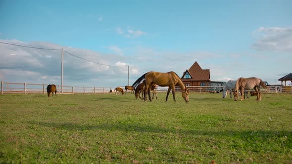 Thumbnail for Horses Grazing in Paddock on Farm