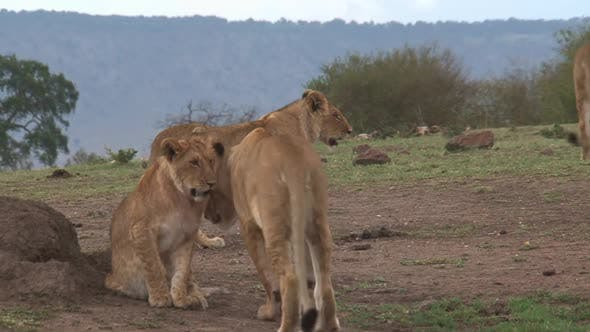 Thumbnail for Pride of Lions walking on the savanna