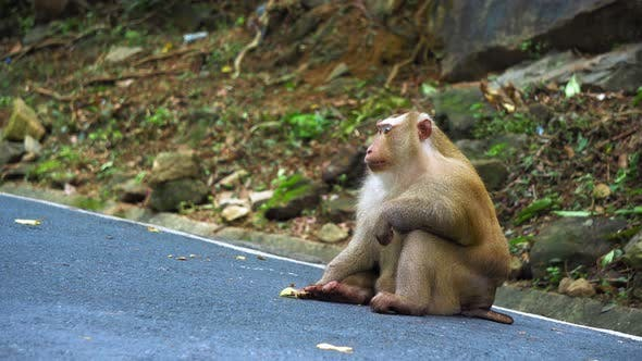 Thumbnail for Portrait of A Monkey Sitting on A Road in The Jungle