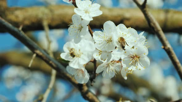 Thumbnail for Bee Collecting Pollen on Apricot Blossom