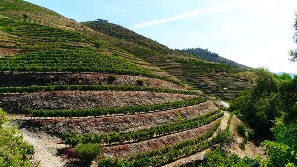 Terraced Vineyards in Douro River Valley
