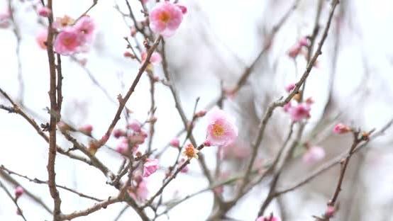Thumbnail for Pink Plum flower on tree