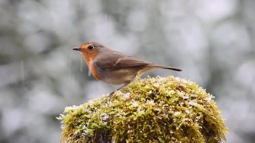 Robin redbreast bird in snowy day