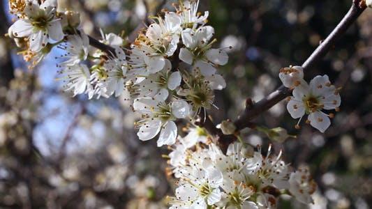 Thumbnail for Flowering Tree 01