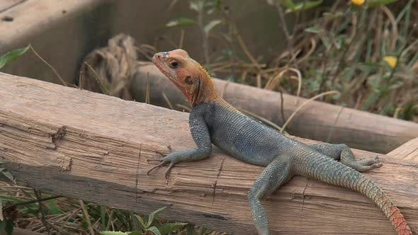 Thumbnail for Orange-headed lizard in Cape coast