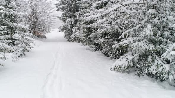Thumbnail for Winter Carpathian Fir Tree in the Snow