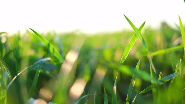 Cover Image for Green Young Wheat Field