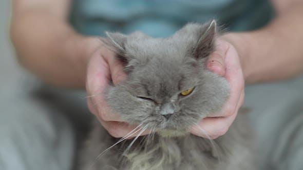 Man stroking an old British longhair cat, close-up