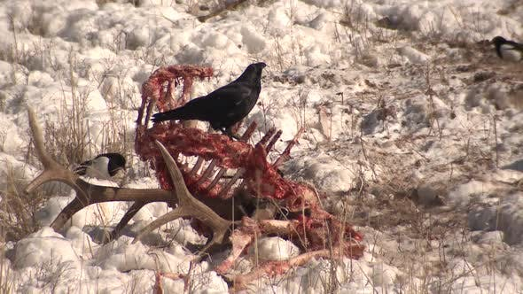 Thumbnail for Raven Eating Feeding in Winter Carcass Carrion Elk Scavenging in Yellowstone National Park Wyoming
