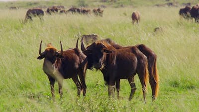 Wildebeests in the African Savanna