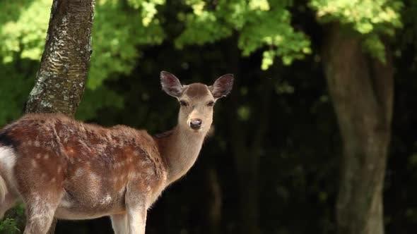 Wildlife Deer in Nara Japan