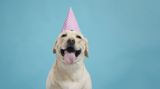 Portrait of Adorable Labrador Dog in Birthday Hat, Looking for Treat, Blue Background