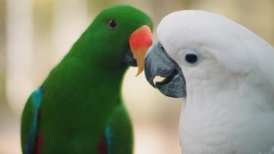 Eclectus parrot and white cockatoo playing with each other, shallow focus