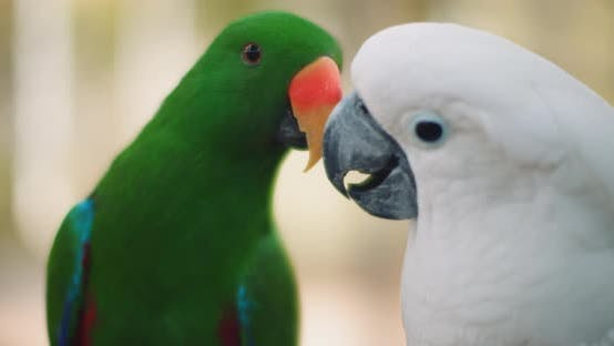 Thumbnail for Eclectus parrot and white cockatoo playing with each other, shallow focus