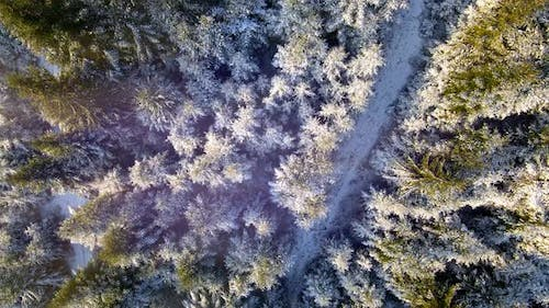 Aerial View on Top Winter Forest with Green Trees Covered with Snow