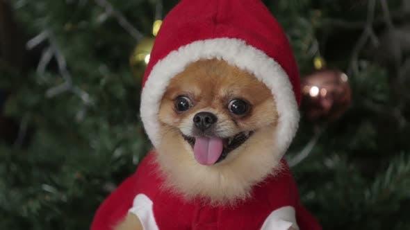 Thumbnail for Dog In Santa Dress
