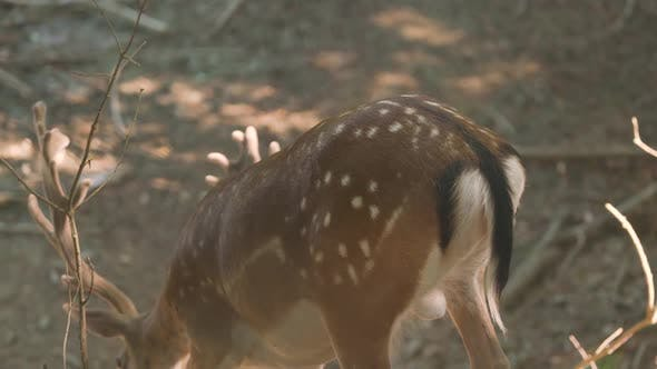 Brown Deer with Large Horns and White Speckles on Fur