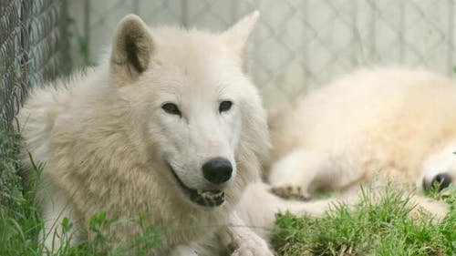 A Family of Arctic Wolves is Resting Lying on the Green Grass