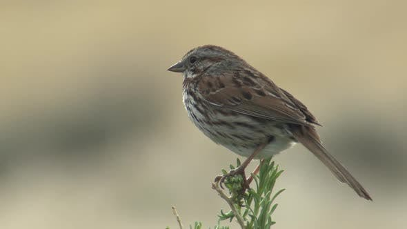 Thumbnail for Song Sparrow Adult Lone Perched Looking Around in Spring in Utah
