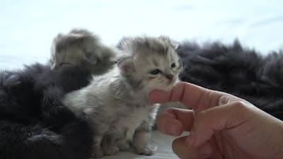 Asian Woman Hand Petting A New Born Kittens