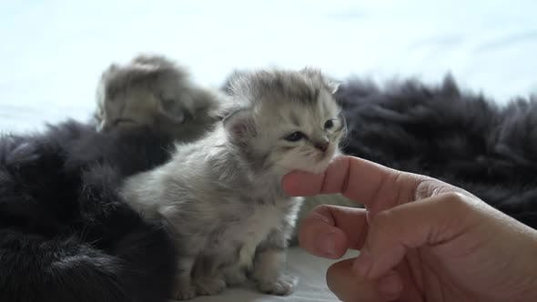 Asiatique Femme à la main caresser un nouveau-né chatons