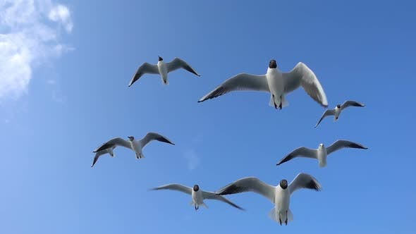 Thumbnail for Bird Animal Seagulls Flying on Clear Blue Sky