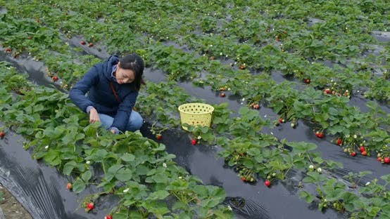 Thumbnail for Woman find strawberry in the farm