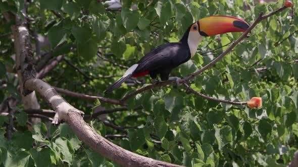 Toucan grimpe sur les branches atteignant la nourriture