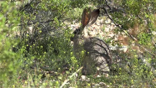 Black-tailed Jackrabbit Adult Lone Hiding Hidden Obscure in Spring