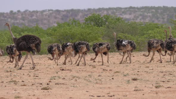 Ostrich herd grazing around Etanga