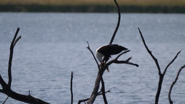 African fish eagle eats a fish while on a tree