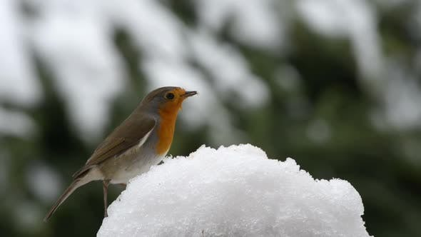 Thumbnail for Robin red breast bird on the snow