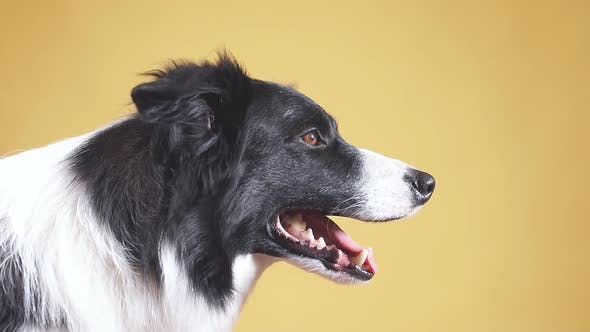 Thumbnail for Yawning White and Black Collie. Tiredness