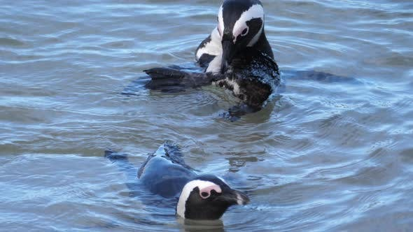 Thumbnail for Penguin preening its feathers in the water